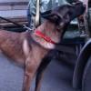 Pomoc psów w zatrzymaniu narkotykow