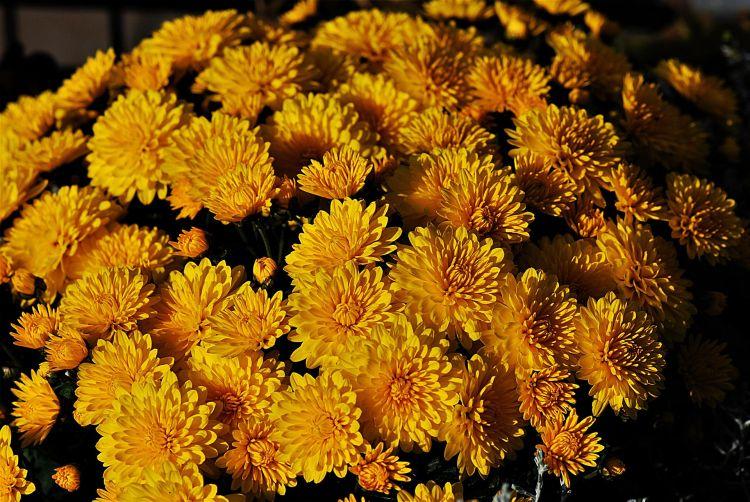 Chryzantemy - jesienne kwiaty