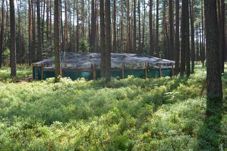 Przygotowanie do wsiedlenia głuszczów w Lasach Janowskich