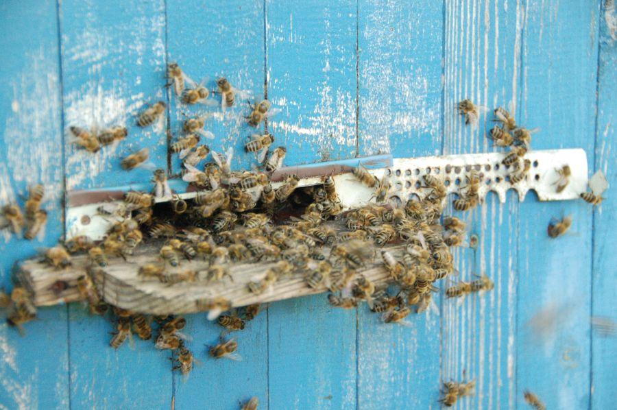 Pszczoły - czyściochy z Nadleśnictwa Mircze