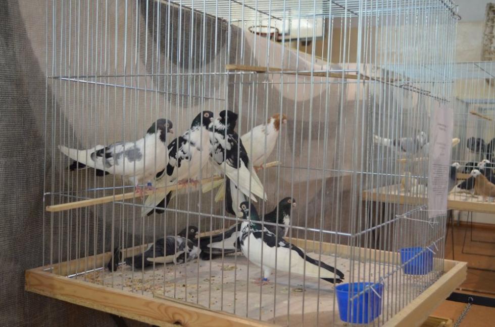 XI Zamojska Wystawa Gołębi Rasowych