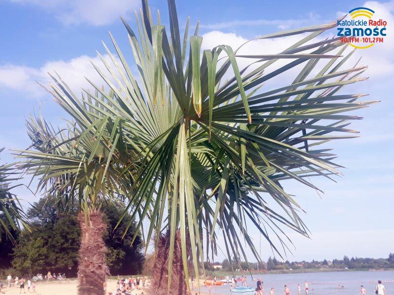 Żywe palmy nad zamojskim zalewem