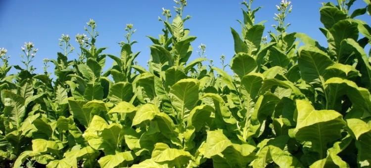 Zwrot zaległości za tytoń