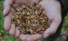 Zbiory nasion buka w Nadleśnictwie Zwierzyniec